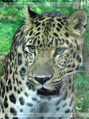 Focus (ficktionphotography) Tags: animals bigcat cats felines jaguar philadelphiazoo wildanimals zoophotography