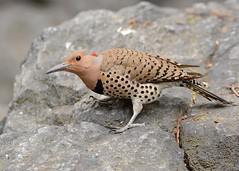 Northern Flicker (JDA-Wildlife) Tags: birds nikon nikond7100 tamronsp150600mmf563divc jdawildlife johnny portrait closeup eyecontact woodpeckers woodpeckernorthernflicker northernflicker whatbirdbestofday wow gorgeous
