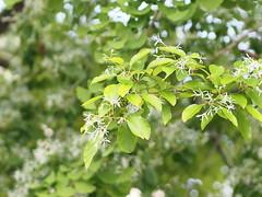 なんじゃもんじゃ (Polotaro) Tags: mzuikodigital45mmf18 flower nature olympus epm2 pen 花 自然 オリンパス ペン なんじゃもんじゃ 5月