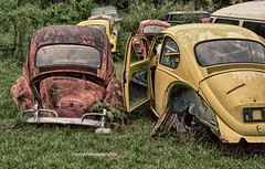Dead Bugs (Photographybyjw) Tags: dead bugs bunch old vws waiting be salvaged this group shot north carolina photographybyjw rural country volkswagen weathered worn rusty crusty field grass