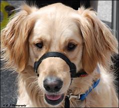 """ Smile Sassy ! "" (John Neziol) Tags: kjphotography pointynoseddogs interestingdogposes goldenretriever fieldretriever smileofadog dognose dogtongue nikondslr nikoncamera nikon pet portrait dog outdoor animal brantford"