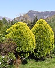 1643 Ornamental conefirs (Andy - Busyyyyyyyyy) Tags: ggg green plasgwernoer tree ttt