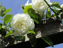 paris-165 (gabriel_flr) Tags: paris france seine ladéfense toureiffel bateaux grandearche gabrielflr gabrielflorea blueskies puteaux courbevoie macron investitureduprésident notredame rose roses rosen trandafiri trandafir blooms blumen fleures rosa