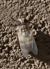 Females Are Few (harefoot1066) Tags: diptera aschiza syrphidae syrphidfly eristalinae volucellini copestylum