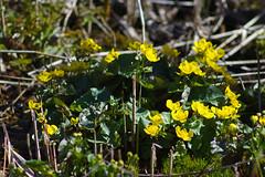 Varsakabjad (Jaan Keinaste) Tags: pentax k3 pentaxk3 eesti estonia loodus nature varsakabi harilikvarsakabi calthapalustris marshmarigold kingcup tair345300 tair3
