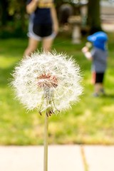 Make a wish (brad.henriksen) Tags: dandelion family spring wish