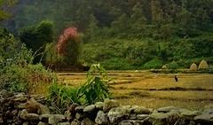 NEPAL, In Pokhara, Unterwegs im Phewa Tal, 16104/8385 (roba66) Tags: reisen travel explore voyages roba66 visit urlaub nepal asien asia südasien pokhara landschaft landscape paisaje nature natur naturalezza phewatal felder meadow fields agricultur rural