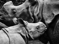 Rhino (STEHOUWER AND RECIO) Tags: rhino rhinoceros young mother child animal rhinocerosunicornis indian indianrhinoceros animals fauna blackandwhite bw monochrome moment family sweet ancient bnw
