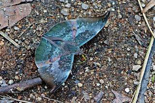 Euthalia anosia - the Grey Baron (male)
