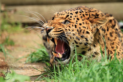 WHF: Ta'iri (North Chinese Leopard) (Jasmine'sCamera) Tags: wildlifeheritagefoundation bigcatsanctuary bigcat bigcats whf animals animal wildlife wild eyes eye face ears nose teeth mouth northernchineseleopard northchineseleopard chinese leopard spots angry anger