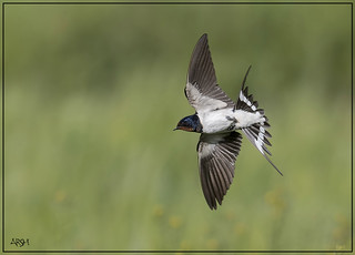 Swallow....