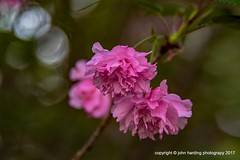 Mystic Pink (T i s d a l e) Tags: tisdale mysticpink flowers blooms crabapple spring april 2017 easternnc