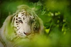 Weiße Tigerin (frauke.wichmann) Tags: weisertiger whitetiger bengaltiger zooparcoverloon bigcats bigcat tiger groskatze nikonphotography nikond7200photography