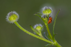 Taking my morning shower :) (lkiraly72) Tags: ladybug morning shower dew dewdrops funny smileonsaturday waterdroplets