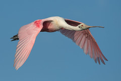 Pink & Blue (PeterBrannon) Tags: bird flight florida fortdesoto nature plataleaajaja stpete wadingbird wildlife wings roseatespoonbill spoonbill