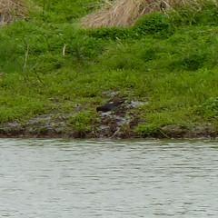 Common Gallinule (Dendroica cerulea) Tags: commongallinule gallinulagaleata gallinula rallidae gruiformes aves bird gallinule rail waterbird spring mercercounty nj newjersey