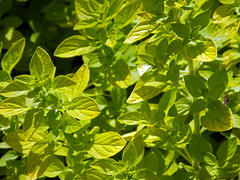Golden Marjoram (Cornishcarolin. Problems posting thanks xxx) Tags: cornwall penryn herbs marjoram