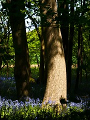 Bluebells and Trees (iamfisheye) Tags: camera greattotham kit olympus e3 sigma105mm