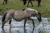 Konik horse in water (madphotographers) Tags: konik konikpaarden oostvaardersplassen nature wild wilderness horses horse