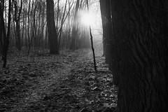 *** (pszcz9) Tags: przyroda nature natura las forest forestimages poranek morning słońce sun drzewo tree pejzaż landscape beautifulearth sony a77 bw blackandwhite monochrome czarnobiałe mgła fog mist ścieżka path