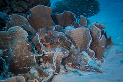 Scorpionfish (Stefan Dreesen) Tags: orangewalllagoon tg163 pelagian wakatobi wangiwangiselatan sulawesitenggara indonesien id