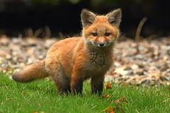 Red Fox (Steve Liffmann) Tags: redfox