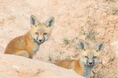 Curious (Amy Hudechek Photography) Tags: fox baby kits wildlife nature spring babies colorado amy hudechek