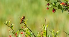 Allen's Hummingbird (phoca2004) Tags: allenshummingbird auduboncanyonranch cypressgrovepreserve cypressgroveresearchcenter d90 nikon selasphorussasin marshall california unitedstates us pointreyesbirdingnaturefestival eacmarinorg environmentalactioncommitteeofmarin