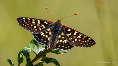 Variable Checkerspot [Explored] (Bob Gunderson) Tags: butterflies euphydryaschalcedona insects variablecheckerspot wildlife explore