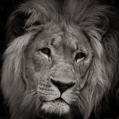 Your Majesty (tom.leuzi) Tags: 300mm mcrokkor minolta minoltamctelerokkorhf300mmf45 natur rokkor sonynex5 tier zoo animal manualfocus nature tele vintagelens lion löwe king könig