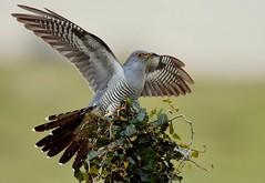 Cuckoo ( male ) (davy ren2) Tags: male bird wild nikon moors d500 nature perch 28 may