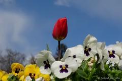 Spring is in the Air (Sockenhummel) Tags: fuji x30 fujifilm finepix tulpe tulip himmel rot blumenschale botanischergartenberlin fujix30