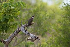 Quiet Moment (PeterBrannon) Tags: bird coccyzusamericanus florida fortdesoto migration nature tampa wildlife yellowbilledcuckoo alone breather solitude spring springmigration