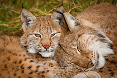 Mother and daughter quality time (CecilieSonstebyPhotography) Tags: grass catfamily portrait eurasianlynx lynx cute closeup sweet cat canon markiii gaupe love langedrag cudleytime canon5dmarkiii ef100400mmf4556lisiiusm daughter nose eyes mother specanimal