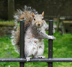 Strike a Pose (surreyblonde) Tags: squirrel grey animal wildlife london uk parklife oark cematery graveyard park nature mammal posing sony a6000 wildlifephotograpy explore inexplore fluffy cute