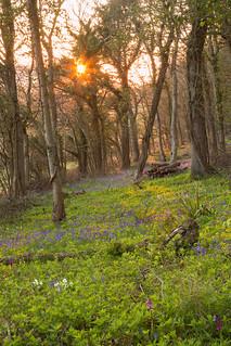 Bluebells & Orchids Sundown