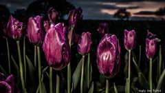 Tulips in the evening (-+Niels+-) Tags: tulipfield tulips continuouslighting led canon70d sunset lastlight nature colors spring loveit fauna purple depthoffield field landscape lightroom light flowers