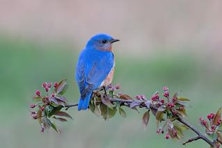 Eastern Blubird ♂