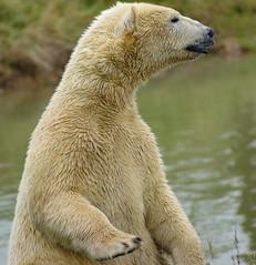 Polar Bear (Kerry711) Tags: sony a77 alpha 400mm sigma prime lens polar bear wild animal fur yorkshire wildlife park doncaster southyorkshire england