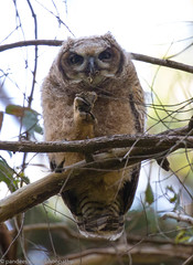 how to eat by great horned owl (pandeesh89) Tags: sanfrancisco california unitedstates us eating dinner bone owl great horned beauty chicks
