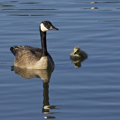 in his image (Pejasar) Tags: goose geese gosling reflection lake