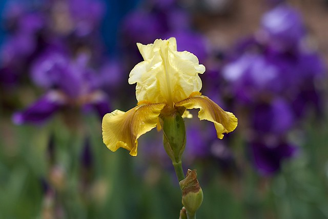 2017/365/128 Yellow Iris Leader