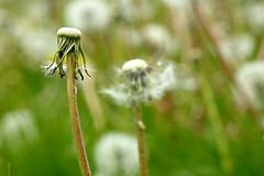 Dandelions (skoop102) Tags: bokeh dandelion dandelions field warwickshire coventry seeds coombe coombeabbey coombecountrypark