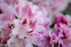 - (-LilyBeth) Tags: nature natura nikon dof depthoffield d3000 wonderfulworld outside bokeh colors spring flowers flower