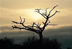 Barren Beauty (The Spirit of the World) Tags: tree deadtreedying nature safari gamedrive morning sunrise sun light kenya eastafrica africa amoselinationalpark landscape gamereserve clouds