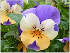 """No man is poor who has a Godly mother."" ― Abraham Lincoln (Nadine V.) Tags: violet pansy viooltje france frankrijk giverny impressionisme impressionism monet tuinvanmonet jardindemonet panasonic panasonicdmcfz38 fz38 flower fleur lumix"