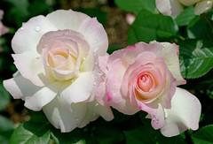 white pink rose 薔薇 (bara) (Kenih8) Tags: sony a7r spring 70mm rose white pink