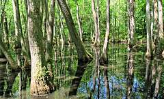 Reflections in a Swamp (Suzanham) Tags: wet boggy swampy cypressswamp swampwater reflections cypress marsh light adventure natcheztrace mississippi water swamp trees summer outdoors canonpowershotsx60hs fantasticnature