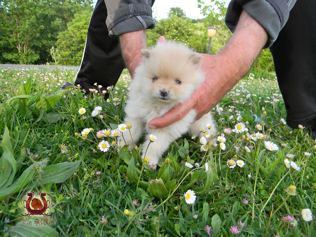The world 39 s best photos of puppy and spitz flickr hive mind - Volpino piccolo ...