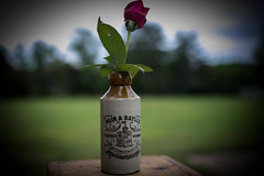 The first outside rose of spring  - Anderson S.C. (DT's Photo Site - Anderson S.C.) Tags: canon 6d sigma 35mm14 art lens andersonsc rose flower bokeh depth field ginger beer may spring pastoral vintage southernlife vanishing southern america landscape tabletop